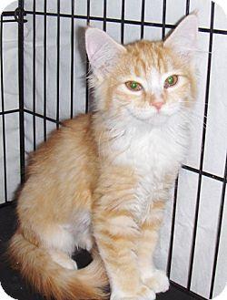 Polydactyl/Hemingway Kitten for adoption in Chandler, Arizona - Polly