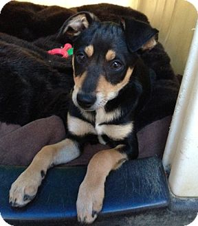 Miniature Pinscher/Chihuahua Mix Puppy for adoption in Inglewood, California - Jake