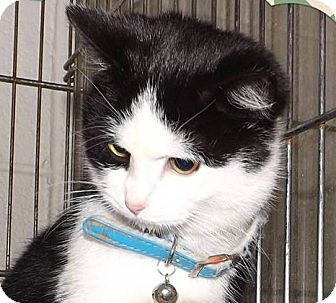 Domestic Shorthair Kitten for adoption in Henderson, North Carolina - Bella