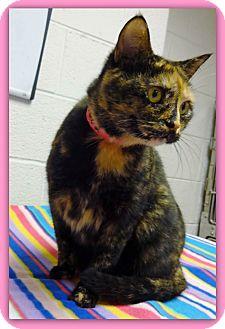 Domestic Shorthair Cat for adoption in Marietta, Georgia - DAHLIA (R)