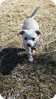 Chihuahua/Pekingese Mix Puppy for adoption in Ft. Collins, Colorado - Benny