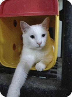 Domestic Shorthair Cat for adoption in Gilbert, Arizona - Apple
