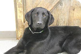 Labrador Retriever Dog for adoption in Vancouver, British Columbia - Blair