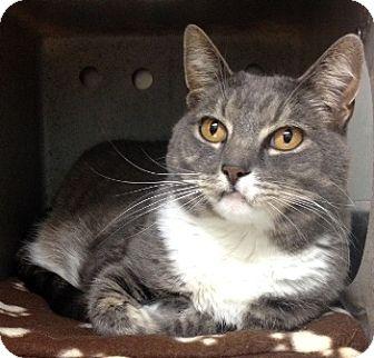 Domestic Shorthair Cat for adoption in Dublin, California - Sedona