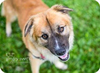 German Shepherd Dog/Labrador Retriever Mix Dog for adoption in Reisterstown, Maryland - Rico