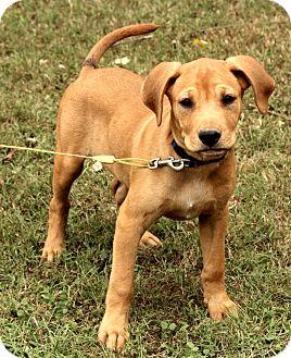 Boxer/Labrador Retriever Mix Puppy for adoption in Washington, D.C. - Brewster
