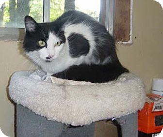 Domestic Mediumhair Cat for adoption in Salem, Oregon - Minnie (shelter)