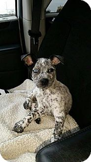 Labrador Retriever/Catahoula Leopard Dog Mix Puppy for adoption in Mantua, New Jersey - Sasha