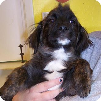 Shih Tzu Mix Puppy for adoption in Phoenix, Arizona - Jerome