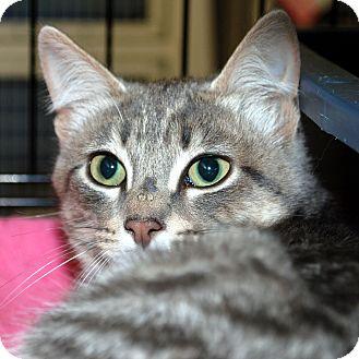 Domestic Shorthair Cat for adoption in Hayden, Idaho - Gizmo