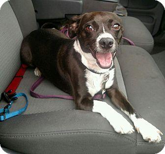 Pug/Beagle Mix Dog for adoption in Plainfield, Illinois - Boots