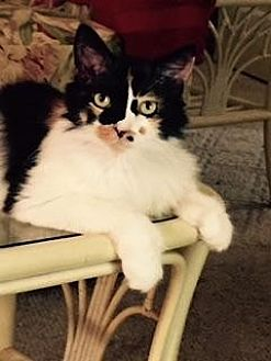 Calico Cat for adoption in Sarasota, Florida - Ginger