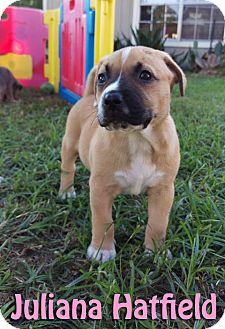 Boxer/American Bulldog Mix Puppy for adoption in Houston, Texas - Juliana Hatfield