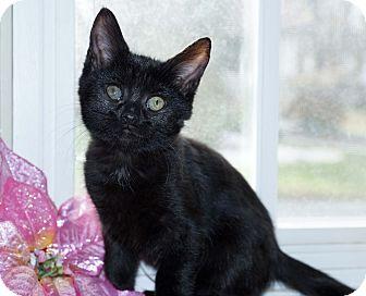 Domestic Shorthair Kitten for adoption in Berlin, Connecticut - Georgia