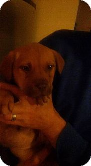 Shepherd (Unknown Type)/Boxer Mix Puppy for adoption in Lima, Pennsylvania - Candy