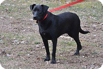 Labrador Retriever Mix Dog for adoption in Boiling Springs, Pennsylvania - Herby
