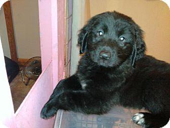 Labrador Retriever Puppy for adoption in DeLand, Florida - Charlie