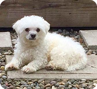 Maltese Mix Dog for adoption in Portland, Oregon - Baby
