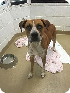 Boxer Mix Dog for adoption in Miami, Florida - Hamlet