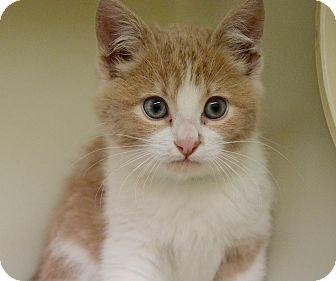 Domestic Shorthair Kitten for adoption in Buena Vista, Colorado - Percy