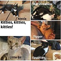 Adopt A Pet :: kitties - Malvern, AR