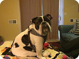 English Bulldog Dog for adoption in Columbus, Ohio - Blue