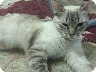 Siamese Cat for adoption in Pasadena, California - Clare