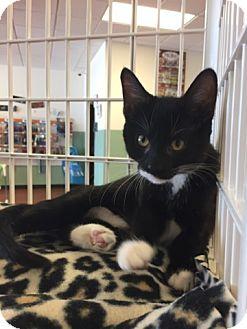 Domestic Shorthair Kitten for adoption in LaGrange Park, Illinois - Nikki