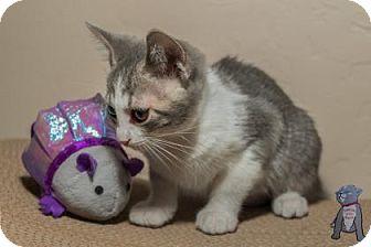 Domestic Shorthair Kitten for adoption in Fountain Hills, Arizona - Pebbles