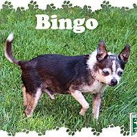 Adopt A Pet :: Bingo - Fallston, MD