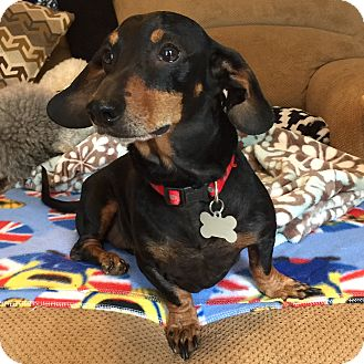 Dachshund Dog for adoption in West Nyack, New York - Oliver