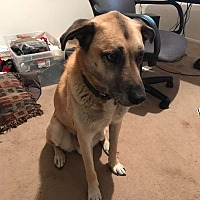 Labrador Retriever/German Shepherd Dog Mix Dog for adoption in Redmond, Washington - Cody