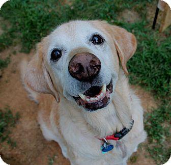 Labrador Retriever Dog for adoption in Fairfax, Virginia - Kingson