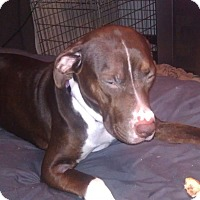 Labrador Retriever/American Pit Bull Terrier Mix Dog for adoption in Richmond, Indiana - Bree
