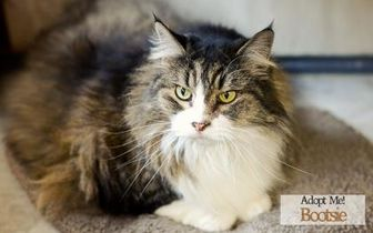 Domestic Longhair/Domestic Shorthair Mix Cat for adoption in West Des Moines, Iowa - Bootsie