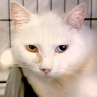 Domestic Shorthair Cat for adoption in Asheville, North Carolina - Tiny Tim