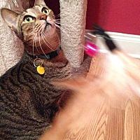 Adopt A Pet :: Dash (Arabian Mau) - Marion, CT