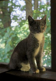 Domestic Shorthair Cat for adoption in New Martinsville, West Virginia - Pursley