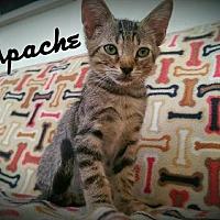 Adopt A Pet :: Apache - Wilmington, NC