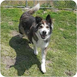 Collie Mix Dog for adoption in San Clemente, California - CAPTAIN