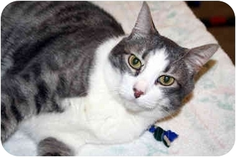 Domestic Shorthair Cat for adoption in Racine, Wisconsin - Douglas