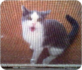 Domestic Shorthair Cat for adoption in Grove City, Ohio - Abby