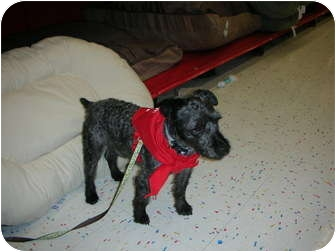 Schnauzer (Miniature) Dog for adoption in Algonquin, Illinois - Bernie