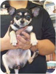 Chihuahua Dog for adoption in Lonedell, Missouri - Beeper