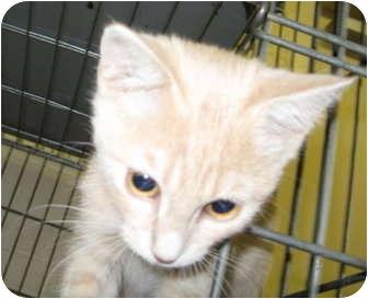 Domestic Shorthair Kitten for adoption in Stillwater, Oklahoma - Angel