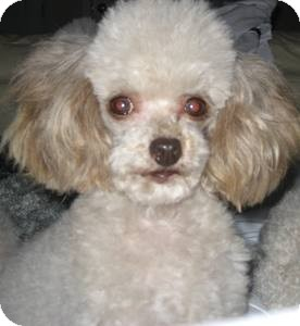 Poodle (Toy or Tea Cup) Dog for adoption in Dover, Massachusetts - Foobee