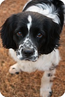 English Springer Spaniel Dog for adoption in Prince William County, Virginia - Cooper