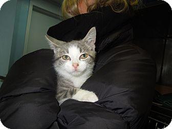 Domestic Shorthair Kitten for adoption in New York, New York - Halston