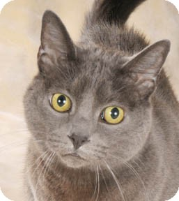 Russian Blue Cat for adoption in Chicago, Illinois - Pachinko