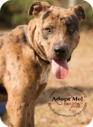 Catahoula Leopard Dog Mix Dog for adoption in Crawfordville, Florida - Demo